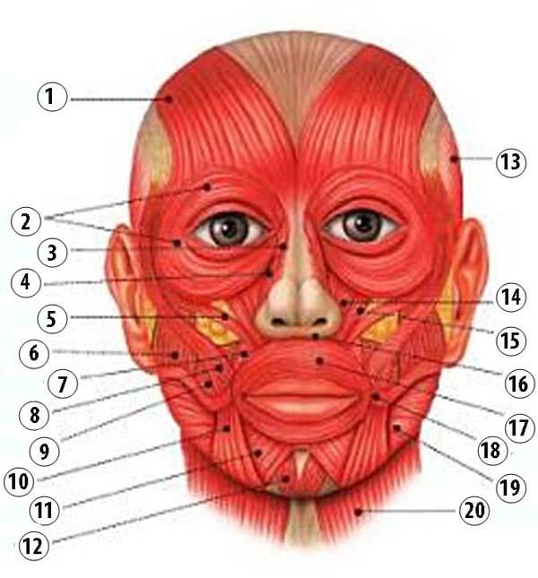 анатомия мышц лица фото франции посетит